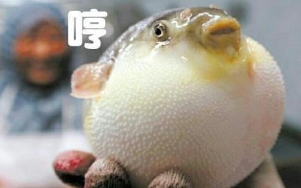 这是一款最近非常流行的表情包,大家都被可爱的河豚鱼萌到了,这样可爱